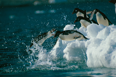 Adelie penguins, photograph by Doug Thost,  Australian Government Antarctic Division © Commonwealth of Australia 2006.