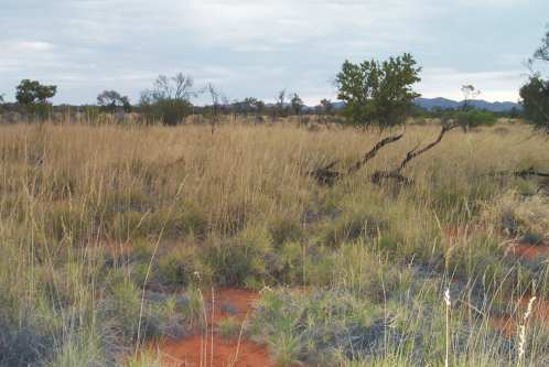 S13: Spinifex hummock grassland on sand plain habitat in central Australia, photograph by Catherine Nano.