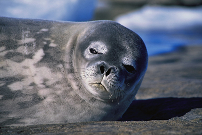 Weddell seal, photograph � Michael Stoddart.