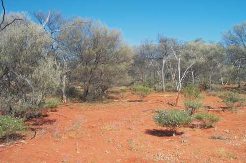 S15: Mulga shrubland in central Australia, photograph by Catherine Nano.