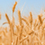 Image: Wheat Grain Used
