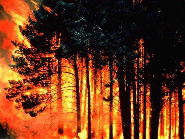 Photograph: Fire in the Penola Forest (South Australia), Ash Wednesday, February 1983.