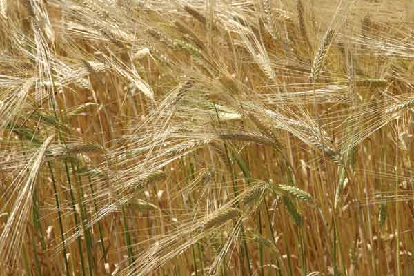 Image: Wheat.