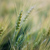 Image: Wheat crops